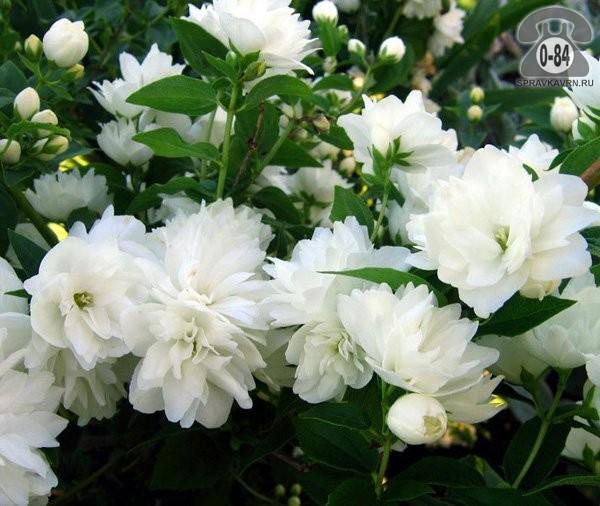 Саженцы декоративных кустарников и деревьев чубушник (жасмин садовый) лиственные махровый белый закрытая