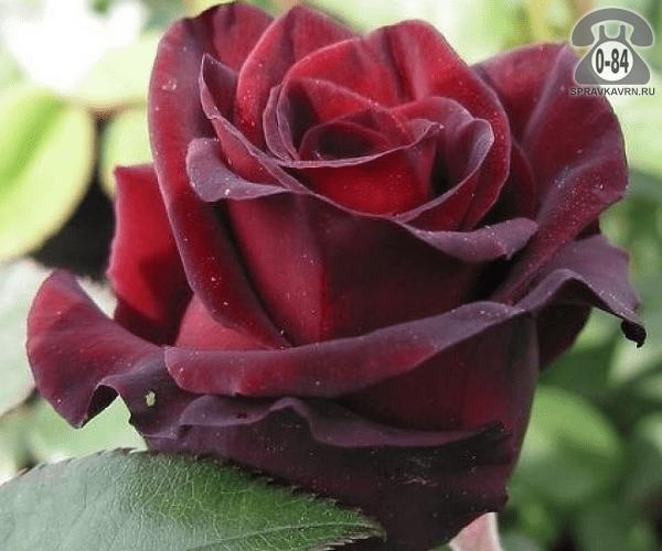 Саженцы декоративных кустарников и деревьев роза чайно-гибридная Блэк Принц (Black Prince) кустистый лиственные зелёнолистный махровый красный закрытая С2 0.6 м Россия