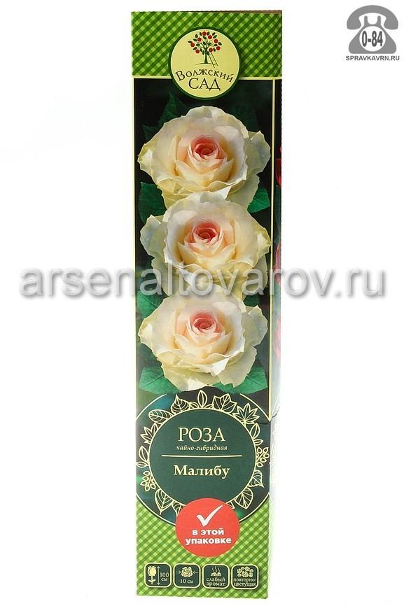 Саженцы декоративных кустарников и деревьев роза чайно-гибридная Малибу кустистый лиственные зелёнолистный бокаловидный розовый открытая Россия