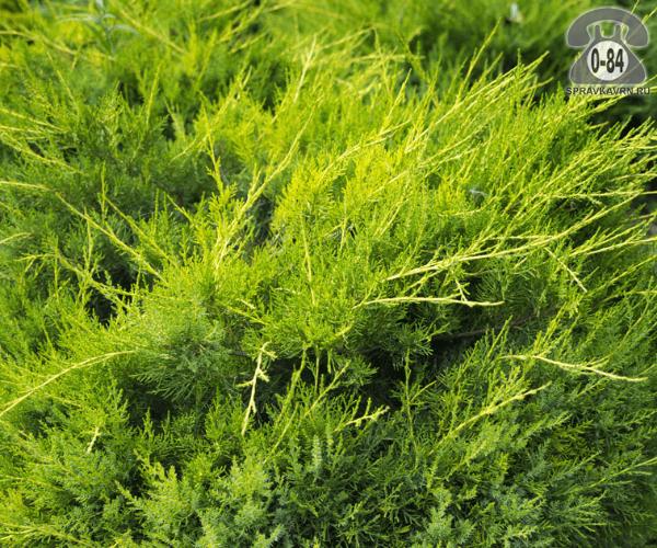 Саженцы декоративных кустарников и деревьев можжевельник китайский (Juniperus chinensis) Куривао Голд кустистый хвойные закрытая Россия