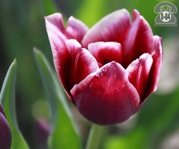 Посадочный материал цветов тюльпан многолетник луковица Нидерланды (Голландия)