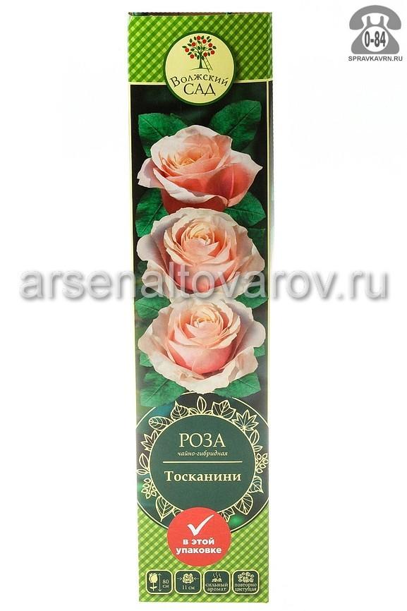 Саженцы декоративных кустарников и деревьев роза чайно-гибридная Тосканини кустистый лиственные зелёнолистный бокаловидный оранжевый открытая Россия
