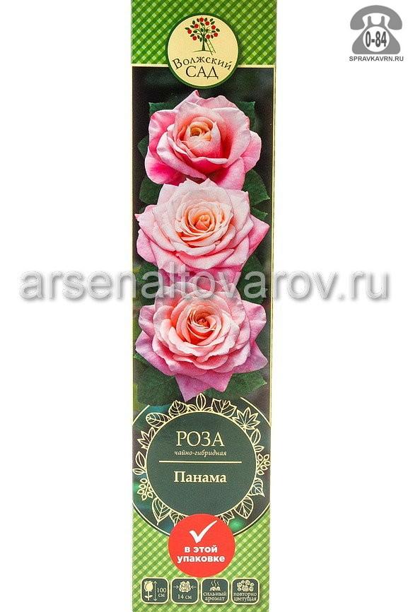 Саженцы декоративных кустарников и деревьев роза чайно-гибридная Панама кустистый лиственные зелёнолистный бокаловидный ярко-розовый открытая Россия