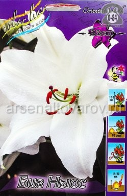 луковичные лилия восточная Биг Ньюс (в пакете 7 шт) цена за пакет (Нидерланды)