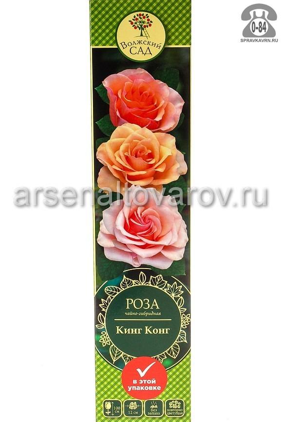 саженцы роза чайно-гибридная Кинг Конг абрикосово-оранжевый (Россия)