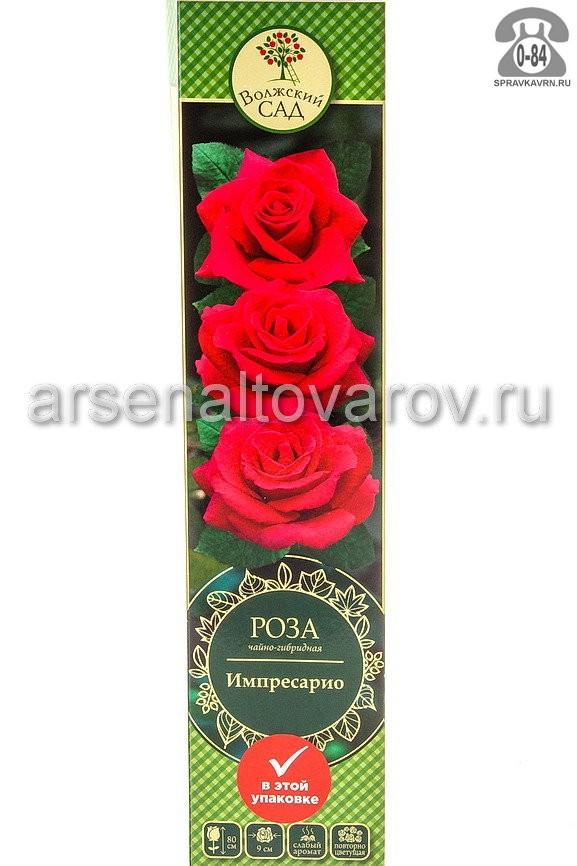 Саженцы декоративных кустарников и деревьев роза чайно-гибридная Импресарио кустистый лиственные зелёнолистный бокаловидный пурпурный открытая Россия