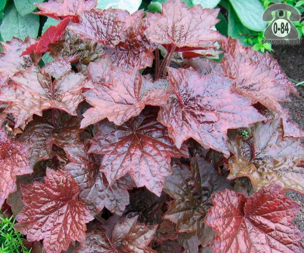 Посадочный материал цветов гейхера Пурпурный замок многолетник корневище 1 шт.
