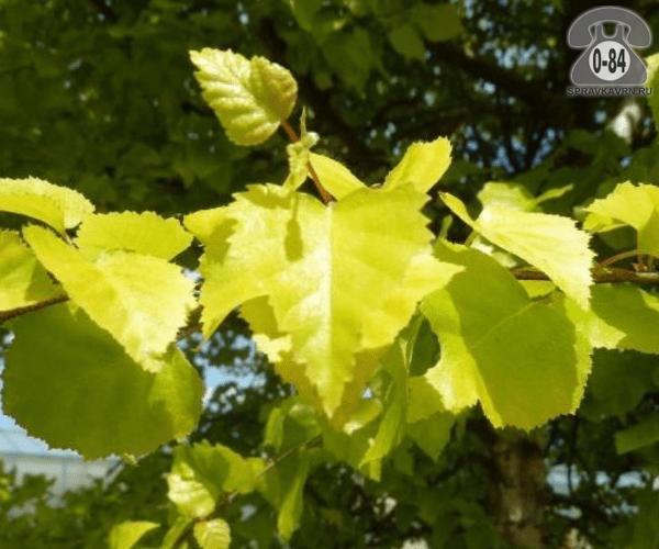 Саженцы декоративных кустарников и деревьев берёза бородавчатая (повислая, плакучая, обыкновенная, повисшая) Ауреа (Aurea) лиственные желтолистный закрытая С10 1.5 м