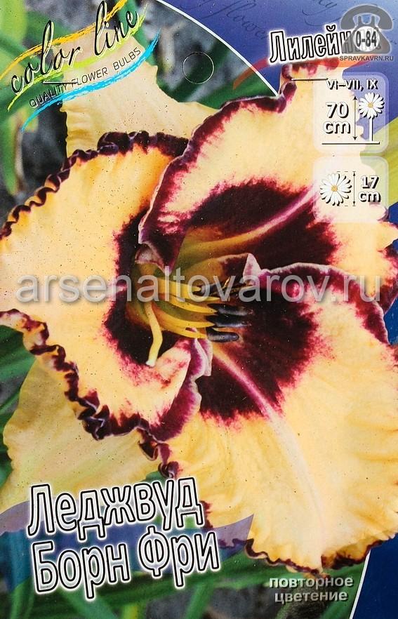 Посадочный материал цветов лилейник Леджвуд Борн Фри многолетник корневище 1 шт. Нидерланды (Голландия)