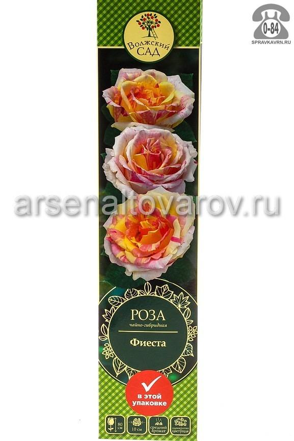 Саженцы декоративных кустарников и деревьев роза чайно-гибридная Фиеста кустистый лиственные зелёнолистный ромбовидный молочный с розовым открытая Россия