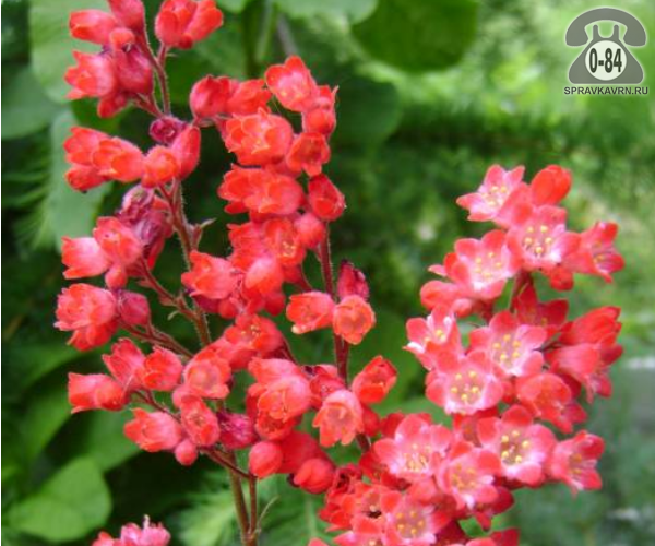 Посадочный материал цветов гейхера Огни Москвы многолетник корневище 1 шт.