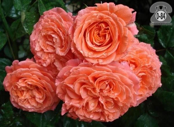 Саженцы декоративных кустарников и деревьев роза плетистая лиственные зелёнолистный махровый открытая
