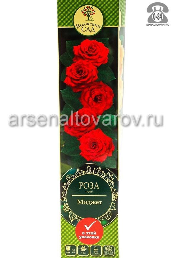 саженцы роза спрей Миджет красно-розовая (Россия)