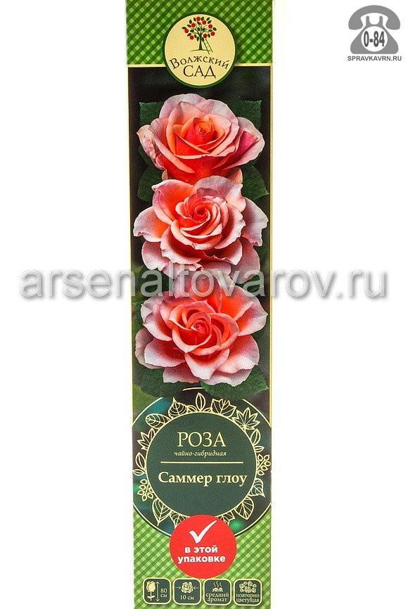 Саженцы декоративных кустарников и деревьев роза чайно-гибридная Саммер Глоу кустистый лиственные зелёнолистный бокаловидный персиковый с розовым открытая Россия
