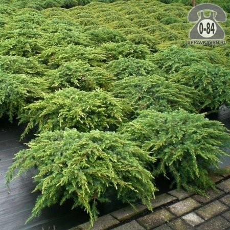 Саженцы декоративных кустарников и деревьев можжевельник обыкновенный (лесной) Репанда (Repanda) стелющийся хвойные