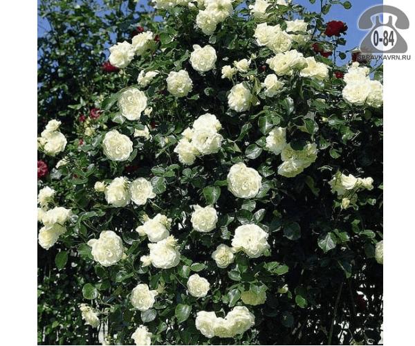 Саженцы декоративных кустарников и деревьев роза Мон Блан (Mont Blanc) плетистая лиственные зелёнолистный махровый белый закрытая С3 0.4 м Россия
