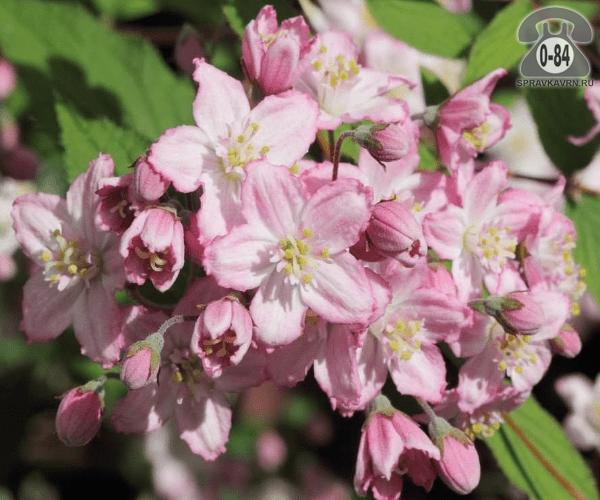 Саженцы декоративных кустарников и деревьев дейция кустистый лиственные зелёнолистный махровый розовый закрытая С2 0.5 м