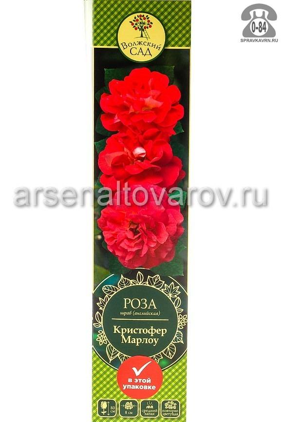 саженцы роза шраб Кристофер Марлоу оранжево-розовая (Россия)