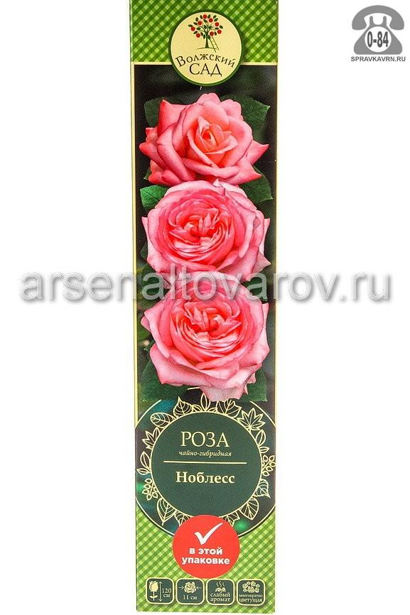Саженцы декоративных кустарников и деревьев роза чайно-гибридная Ноблесс кустистый лиственные зелёнолистный бокаловидный нежно-розовый открытая Россия