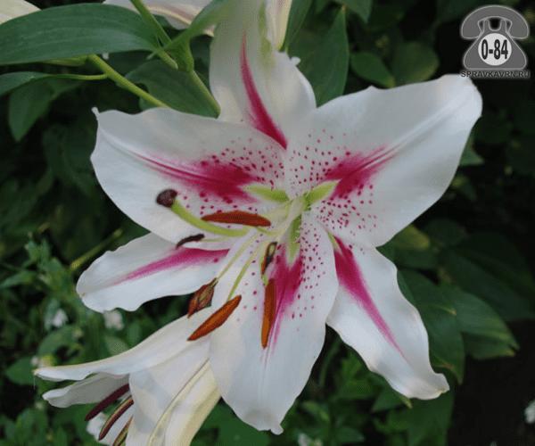 Клубнелуковичный цветок лилия азиатская Детройт