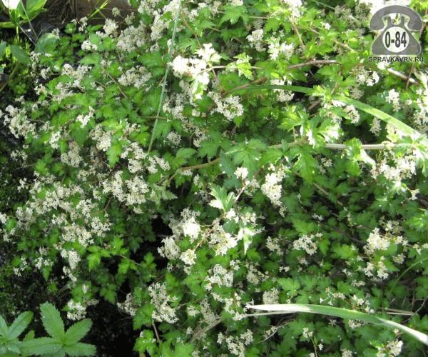Саженцы декоративных кустарников и деревьев стефанандра раскидистая лиственные зелёнолистный белый закрытая С2 0.3 м