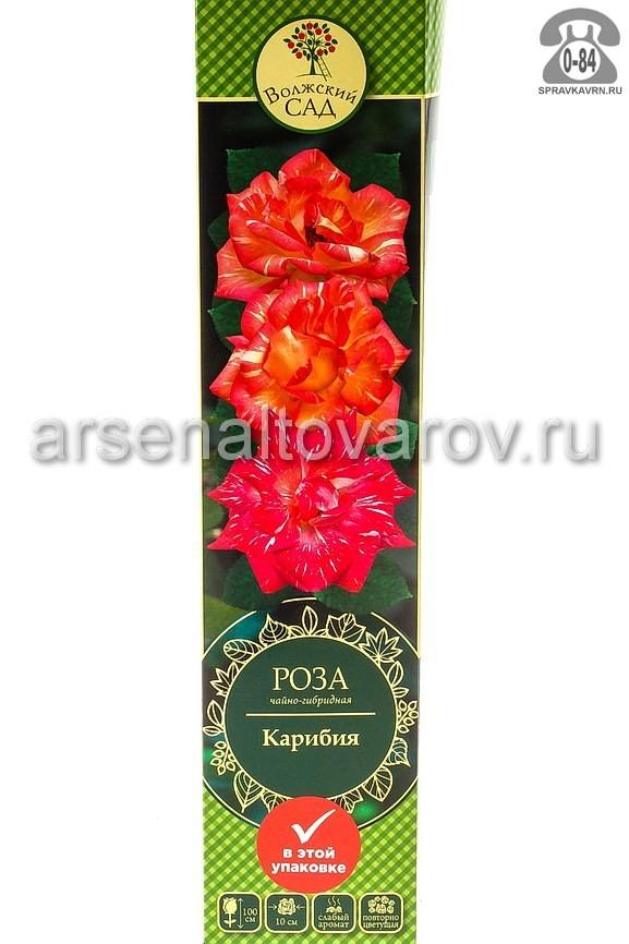саженцы роза чайно-гибридная Карибия полосатая золотисто-желтая (Россия)