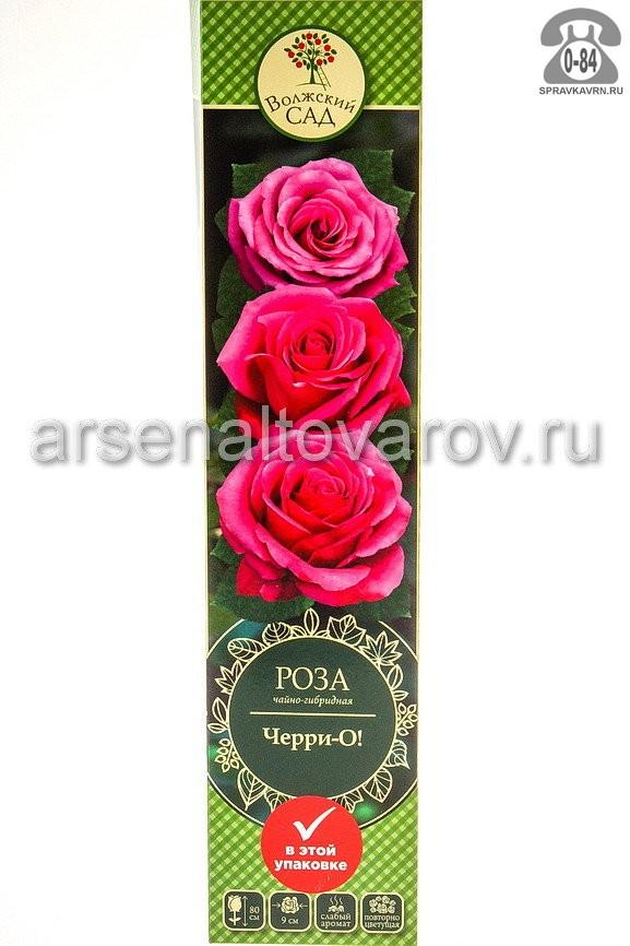 саженцы роза чайно-гибридная Черри-О малиновая с прожилками (Россия)