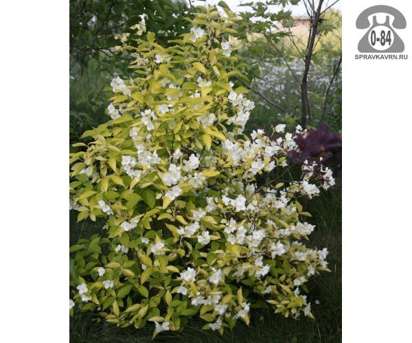 Саженцы декоративных кустарников и деревьев чубушник (жасмин садовый) Ауреа (Aurea) кустистый лиственные желтолистный полумахровый белый закрытая С2 0.3 м