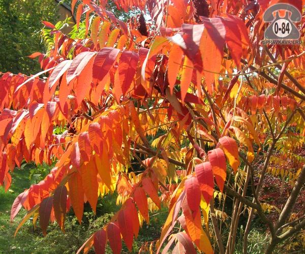 Саженцы декоративных кустарников и деревьев сумах лиственные зелёнолистный красный закрытая С2 0.3 м