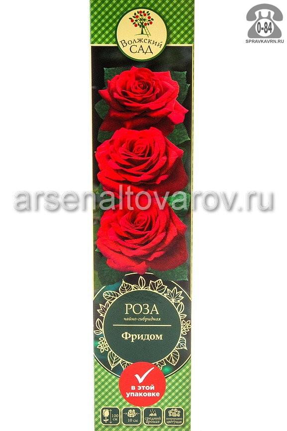 Саженцы декоративных кустарников и деревьев роза чайно-гибридная Фридом кустистый лиственные зелёнолистный бокаловидный темно-красный открытая Россия