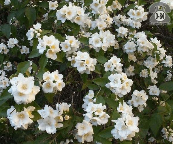 Саженцы декоративных кустарников и деревьев чубушник (жасмин садовый) Букет Бланк (Bouquet Blanc) кустистый лиственные махровый белый закрытая Россия