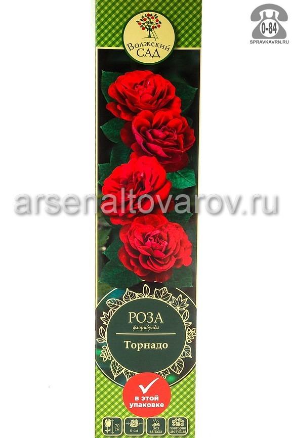 саженцы роза флорибунда Торнадо темно-красная (Россия)