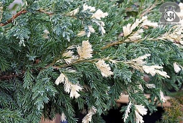 Саженцы декоративных кустарников и деревьев можжевельник казацкий Вариегата (Variegata) кустистый хвойные